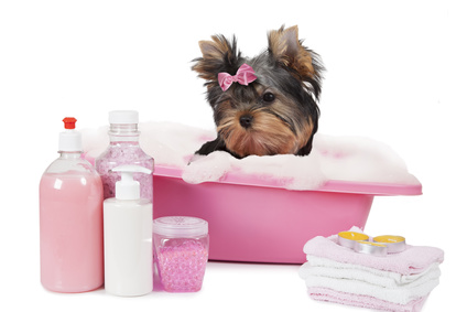 Yorkshire terrier dog bathing in a bubble bath isolated on white background